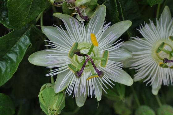 Fleur de Passiflora coerulea 'Constance Elliott'