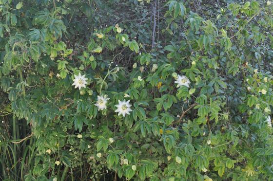 Passiflora coerulea 'Constance Elliott'