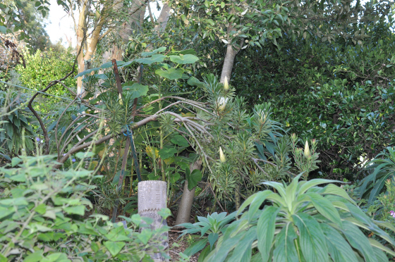 Plant de Protea repens 'White'