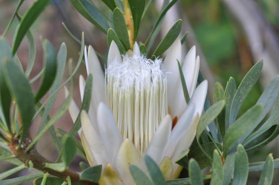 Inflorescence de Protea repens 'White'