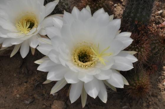 Fleur de Trichocereus strigosus