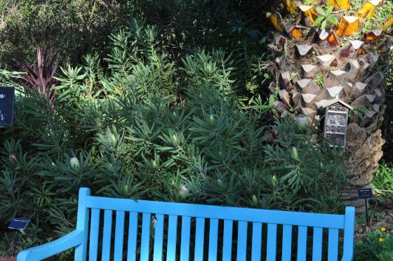 Protea neriifolia 'Limelight' 1
