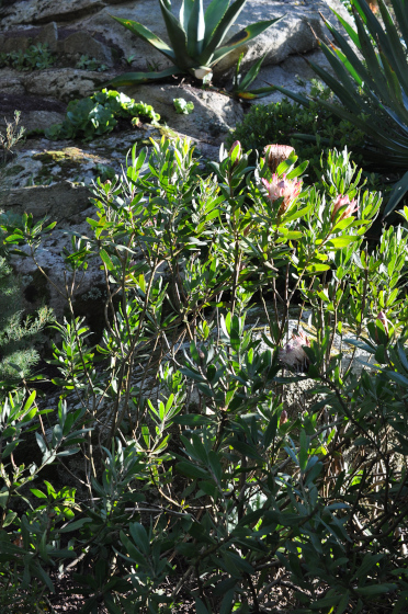 Protea susannae 1
