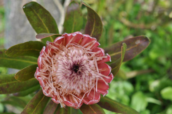 Protea 'Pink Ice' 3