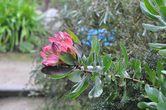 Protea 'Sylvia' 4
