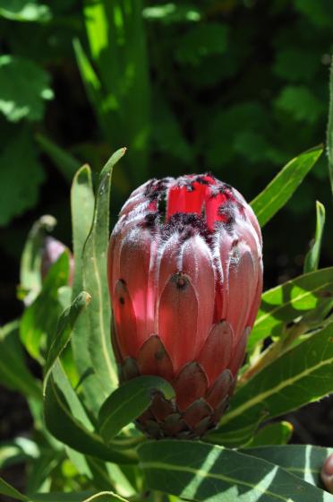 Protea 'Tasman Ruby' 4