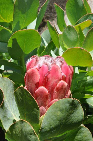 Protea grandiceps 4