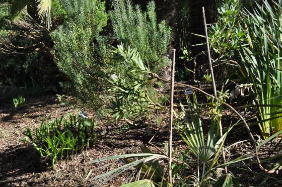 Protea lepidocarpodendron blanche 1