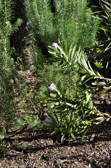 Protea lepidocarpodendron blanche 2