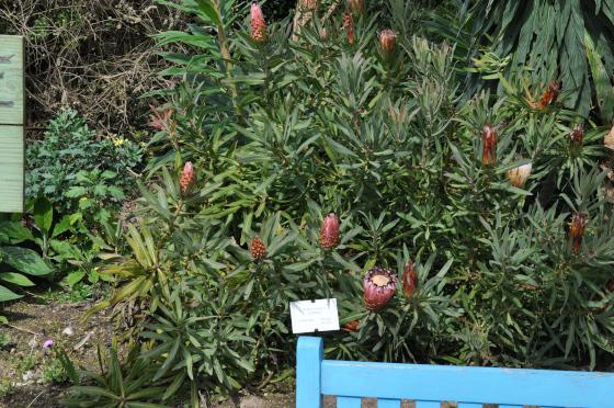 Protea neriifolia 2