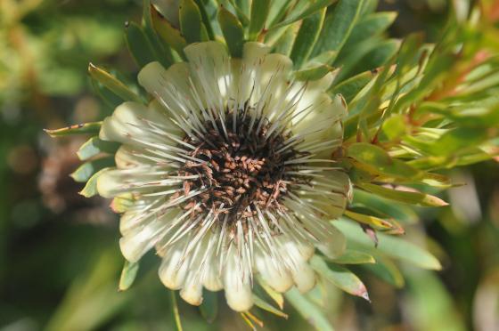 Protea scolymocephala1