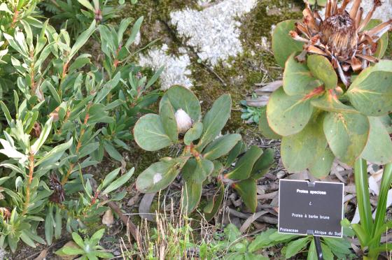 Protea speciosa 1