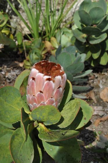 Protea speciosa 2