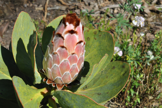 Protea speciosa 3