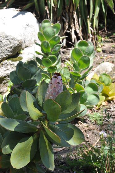 Protea speciosa 4