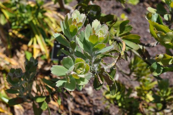 Leucospermum praecox