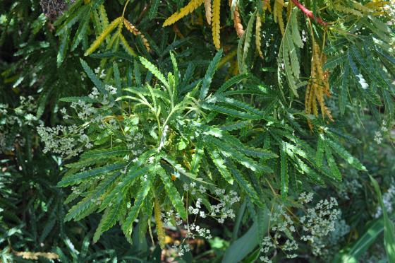 Lyonothamnus floribundus subsp. aspleniifolius