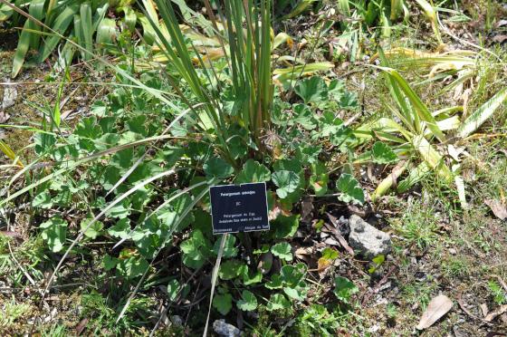 Pelargonium sidioides
