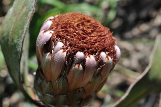 Protea lorifolia