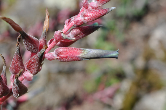 Puya sapthacea