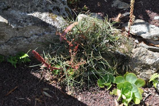 Puya tuberosa