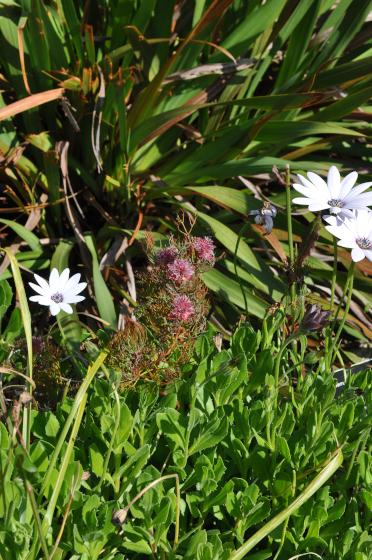 Serruria florida