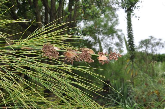 Cannomois robusta male