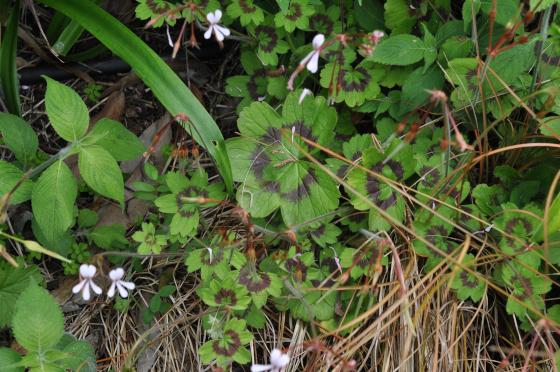 Pelargonium alchemilloides