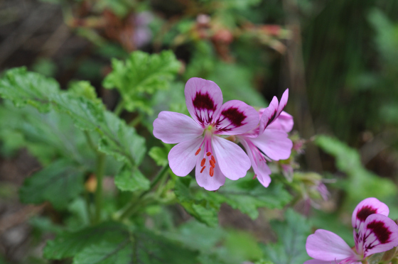 Pelargonium quercifolium